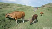 Sebelum jadi destinasi wisata, Bukit Merese adalah tempat penggembala untuk melepas hewan ternaknya seperti kerbau dan sapi. Meski sudah jadi destinasi wisata, aktivitas para penggembala di sana tetap berlangsung seperti biasa (Afif Farhan/detikTravel)