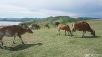 Malah, sapi-sapinya asyik buat difoto-foto (Afif Farhan/detikTravel)