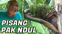 Kocaknya Penjelasan Pak Ndul, YouTuber Jawa Soal Mencangkok Pohon Pisang