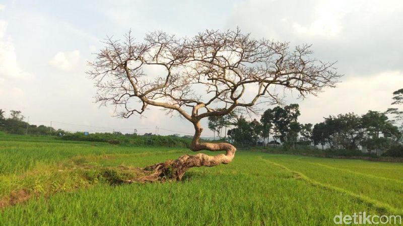 Ada satu hal yang menjadi identitas khas Sawah Desa Pulutan. Yaitu, adanya pohon tunggal di tengah-tengah Sawah, Pohon Pengantin (Aji Kusuma/detikTravel)