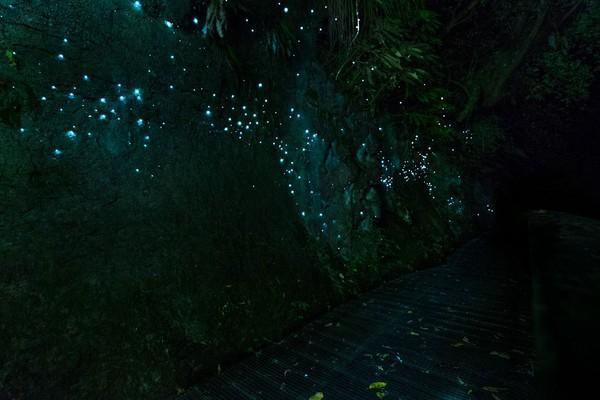Waitomo Glowworm Caves pertama kali dijelajahi tahun 1887 oleh Fred Mace dari Inggris dan kepala suku Maori setempat bernama Tane Tinorau. (iStock)