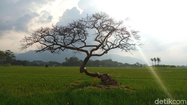 Pohon Pengantin di Salatiga (Aji Kusuma/detikTravel)