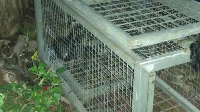 Perangkap macan tutul disiapkan untuk tangkap macan. (Foto: Istimewa)