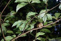 Jejak Tarsius menghilang di balik malam (Wahyu/detikTravel)