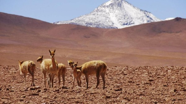 Kondisi gurun yang begitu kering pun membuat binatang sulit bertahan hidup. Hanya alpaca, kalajengking, serigala gurun, lalat dan kupu-kupu yang dapat hidup di sana (Alto Atacama Desert Lodge & Spa)