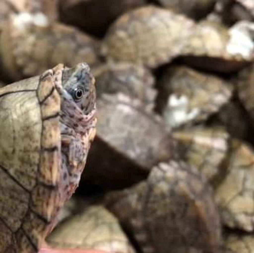 Selundupkan Ribuan Kura-kura, 2 Pria India Ditangkap di Bandara Malaysia