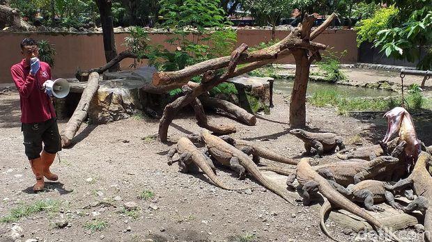 Sebanyak 74 ekor anak komodo menetas di Kebun Binatang Surabaya (KBS). Puluhan anak komodo tersebut lahir dari dari 7 induk pada Januari dan Februari 2019.