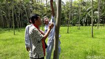 5 Fakta Pohon Sengon yang Disebut Penyebab Mati Listrik Massal