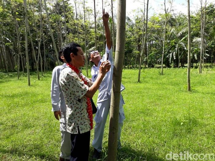 5 Fakta Pohon Sengon yang Disebut Penyebab Mati Listrik Massal/Foto: Istimewa