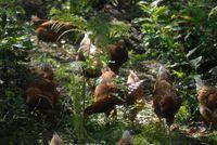 Keren! Peternak Ini Pilih Pelihara Ribuan Ayam di Hutan