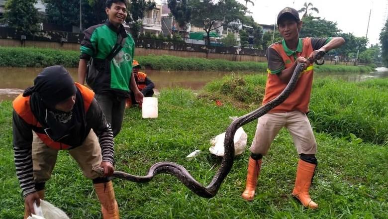 14 Ular Sanca Lepas di Gunung Putri Bogor, 8 Masih Dicari