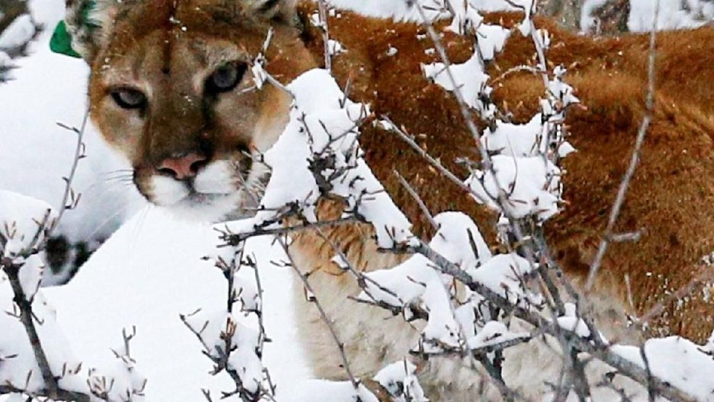 Heroik! Ayah di California Selamatkan Anak dari Serangan Singa Gunung