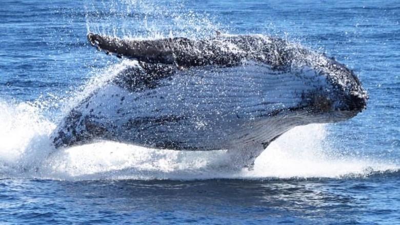 Ikan Paus Bungkuk Australia Kembali Terancam Punah