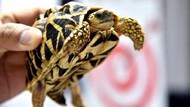 1.500 Kura-Kura Cantik Ditinggalkan di Bandara Manila