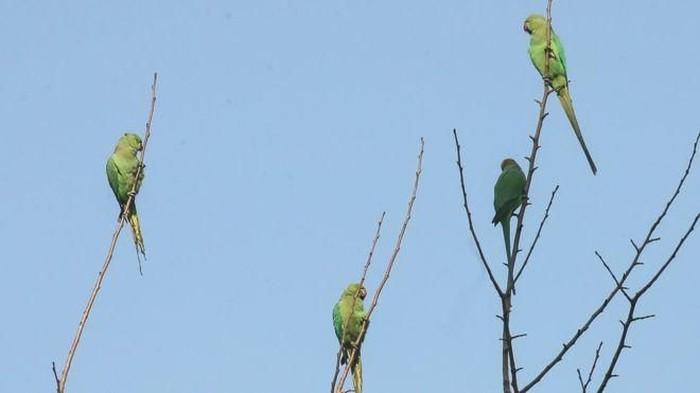 Belakangan dikabarkan kalau para petani di Madhya Pradesh diserang hama burung kakatua yang diduga kecanduan. Foto: BBC
