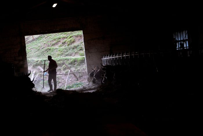 Setelah merawat sapi-sapi miliknya, Pablo Pato kemudian membersihkan lantai kandang yang penuh dengan jerami. REUTERS/Eloy Alonso.