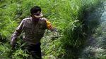 Polisi Musnahkan 80 Ribu Batang Ganja di Aceh
