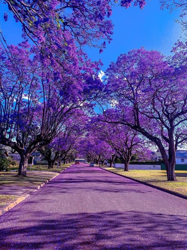 Kota Grafton di Queensland terkenal dengan Jacaranda Festival. Ini adalah pemandangan super cantik dari 2.000 pohon jacaranda yang berwarna ungu dan bermekaran di seluruh kota. Cantik banget! (@keykodesign)