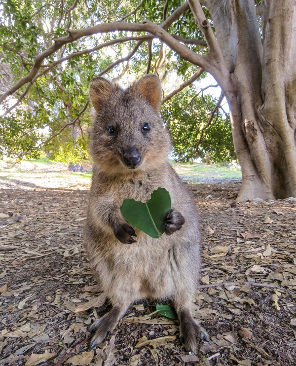 Kangguru memang identik dengan Australia. Tapi rupanya, Negeri Aborigin ini punya Quokka yang jadi penduduk asli Pulau Rottnest di pesisir Kota Perth. Binatang ini terkenal ramah dan suka selfie lho! (@cruzysuzy)