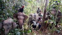 Atasi Konflik, Gajah Nadya dan Meutya Dipasangi GPS