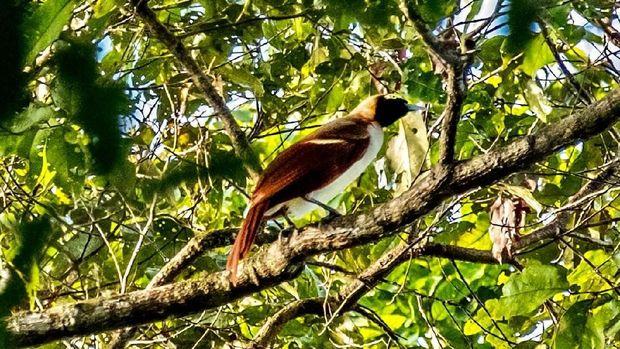 680+ Gambar Burung Cendrawasih Dari Papua Gratis Terbaru