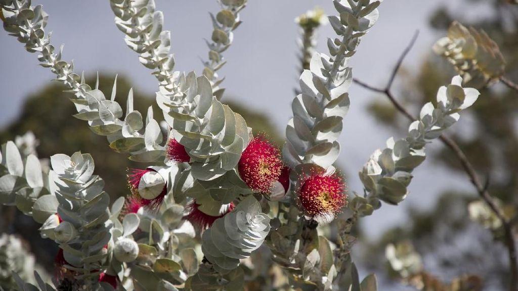 Alasan Mengapa Australia Disebut Benua Hijau, Gegara Akasia dan Eucalyptus?