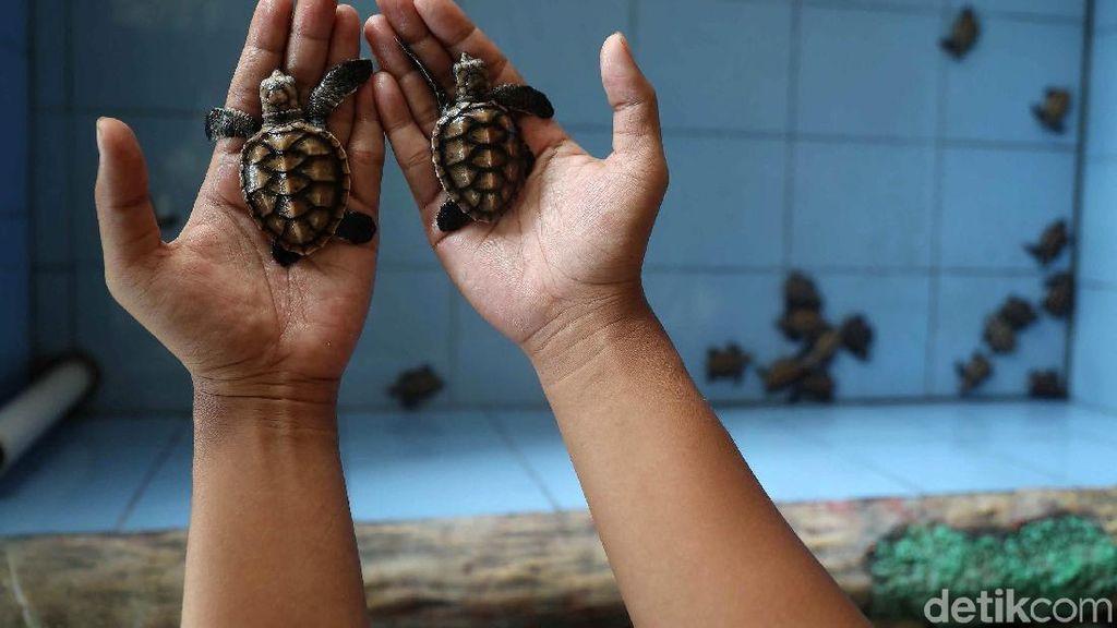 Salam Lestari! 47 Ekor Tukik Penyu Dilepas di Pantai Wakatobi