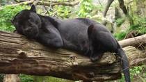 Jaguar Serang Perempuan yang Selfie di Dekat Kandangnya