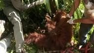 Miris! Induk Orang Utan di Aceh Kena Tembak di Mata, Anak Mati
