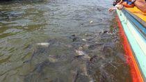 Banyak Ikan Patin di Sungai Chao Phraya, Bangkok
