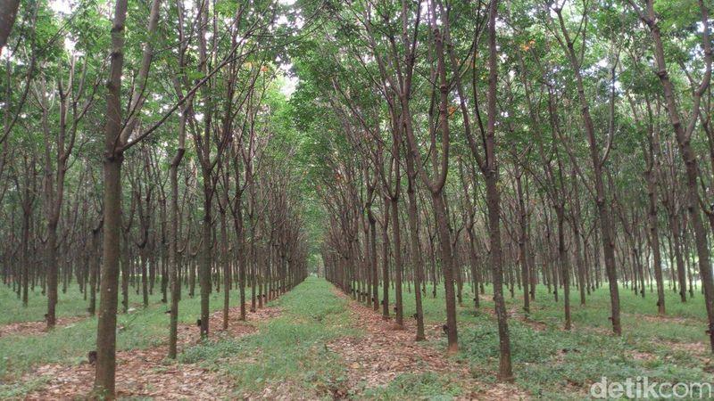 Dalam bahasa Jawa Alas memiliki arti sebagai hutan, sehingga alaska berarti hutan karet. (Aji Kusuma/detikcom)