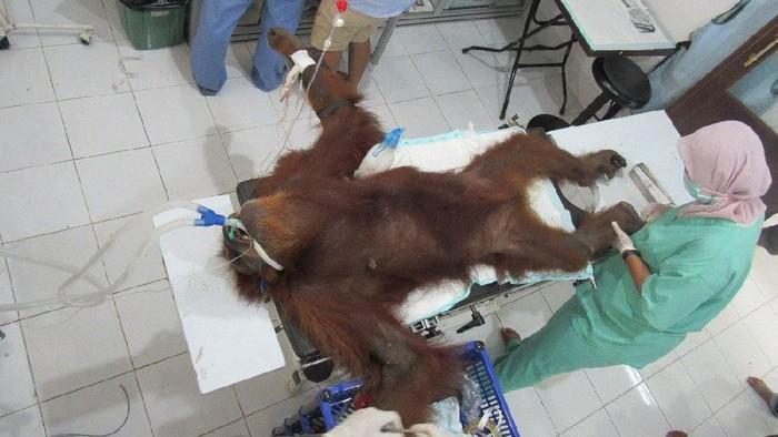 Orangutan yang disiksa (Akun Twitter @Sutopo_PN)