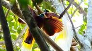 Legenda Cenderawasih, Burung Surga yang Tak Punya Kaki