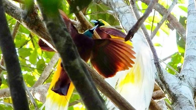 Menurut legenda, cenderawasih adalah burung surga yang tak punya kaki. (Foto: dok istimewa)