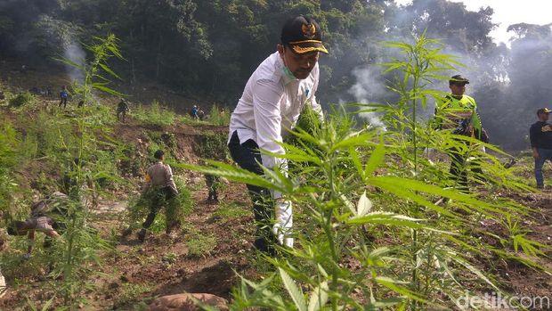 10 Hektare Ladang Ganja di Aceh Besar Dimusnahkan