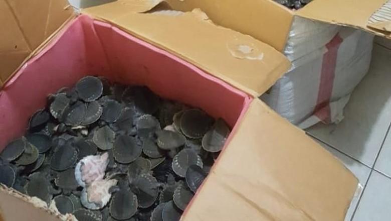 Polisi Gagalkan Penyelundupan 2.227 Kura-kura Moncong Babi di Merauke