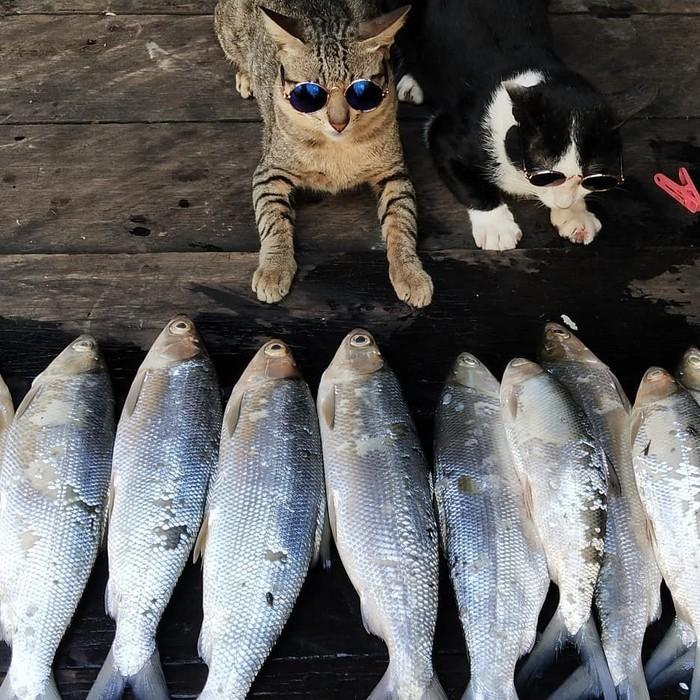 Unduh 80+  Gambar Lucu Kucing Makan Ikan Terbaru
