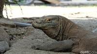 Ingin Liburan ke Pulau Komodo? Daftar Online Dulu ya...