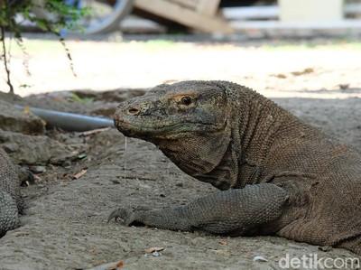 Menyambangi Pulau Rinca, Awas Nabrak Komodo!