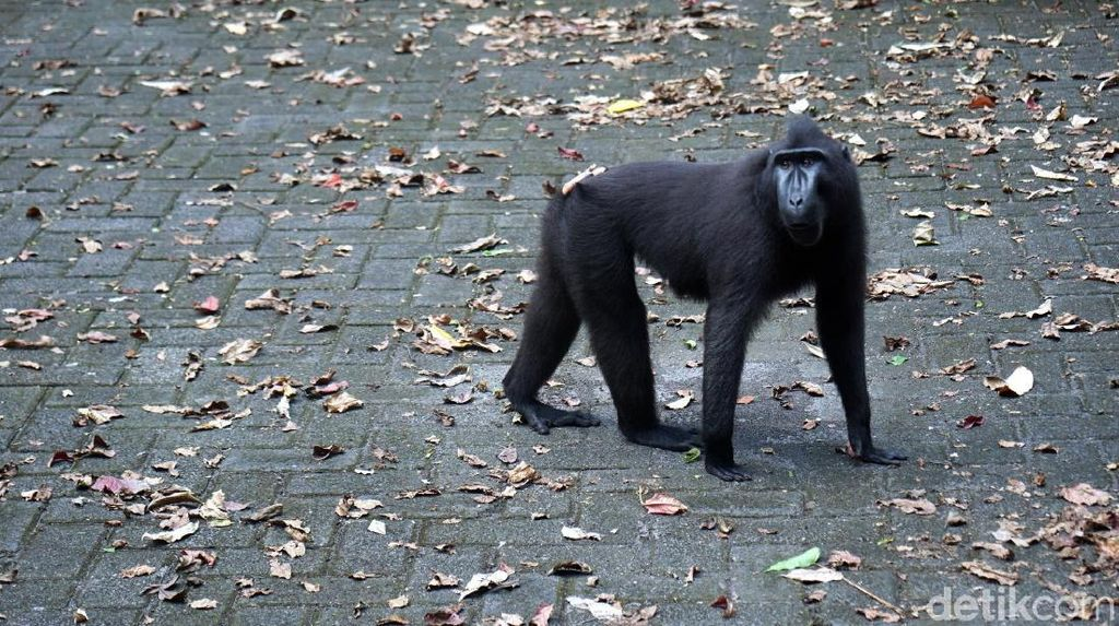 Foto: Yaki, Monyet Hitam Sulawesi yang Galak