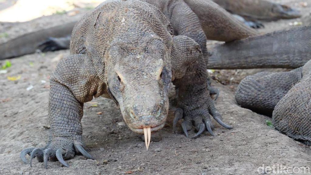 Bertemu Suku Komodo, Saudara Kandung Kadal Purba Legendaris