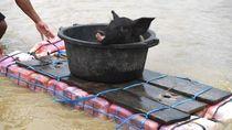 Potret Warga Evakuasi Hewan Ternak Usai Banjir Bandang di Sentani