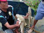 Peneliti LIPI Duga Hiu di Dataran Tinggi Sentani Jenis Blacktip Reef Shark