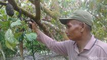 2 Hektare Tanaman Kakao di Jambi Diserang Ulat, 1.500 Batang Pohon Busuk