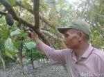 2 Hektar Tanaman Kakao di Jambi Diserang Ulat, 1.500 Batang Pohon Membusuk
