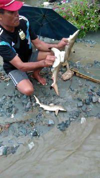 Sentani Tak Terhubung ke Laut, Mengapa Ikan Hiu Bisa 'Nyasar' Saat Banjir?