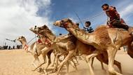 Intip Serunya Balapan Unta di Mesir