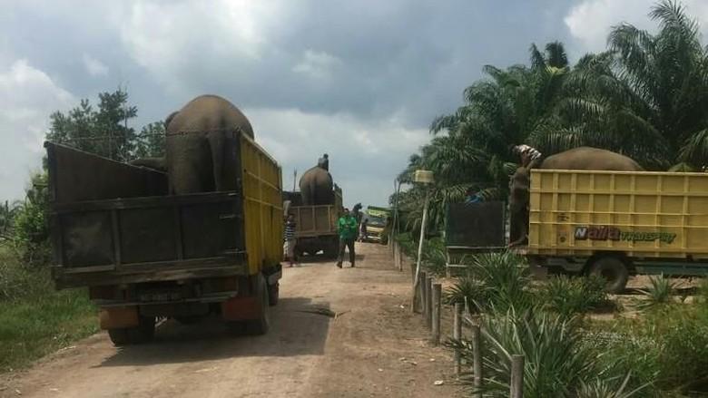 Konflik Lahan, Delapan Gajah di Hutan Konservasi Lahat Dievakuasi