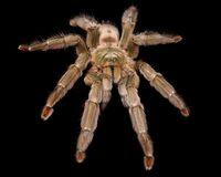 Saus Pedas Ini Sengatan Panasnya Mirip Racun Venom dari Tarantula