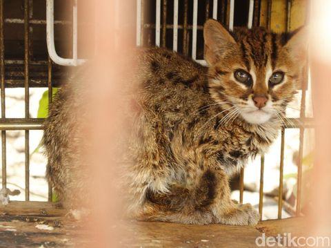 76 Gambar Gambar Kucing Hutan Jawa Terlihat Keren